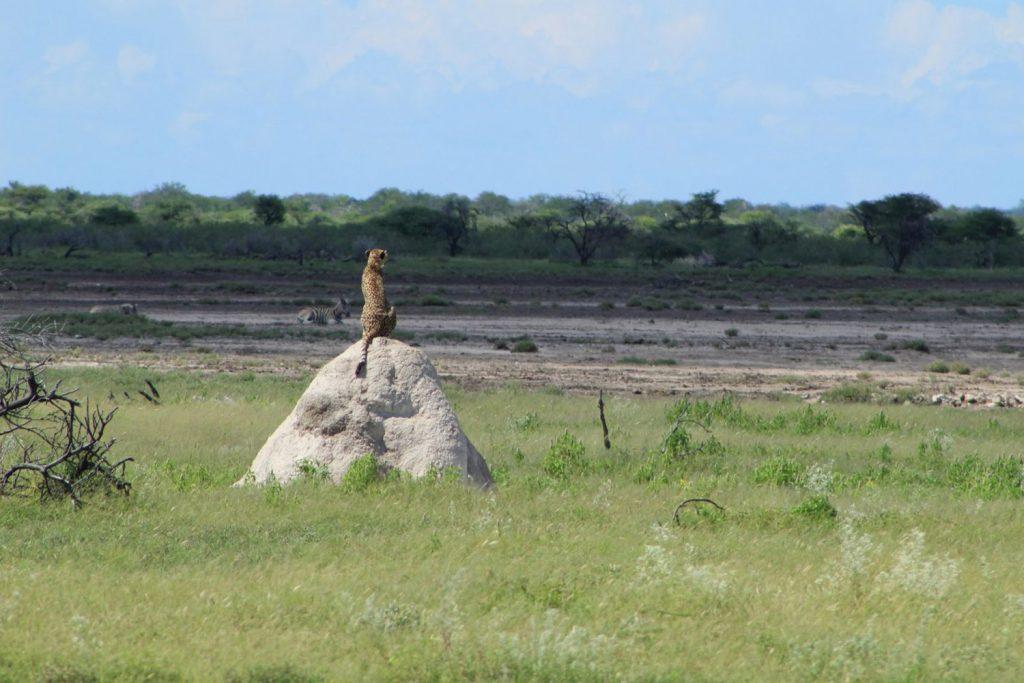 A cheetah sighting in Etosha - Cheetahs in Namibia - Vreugde Guest Farm