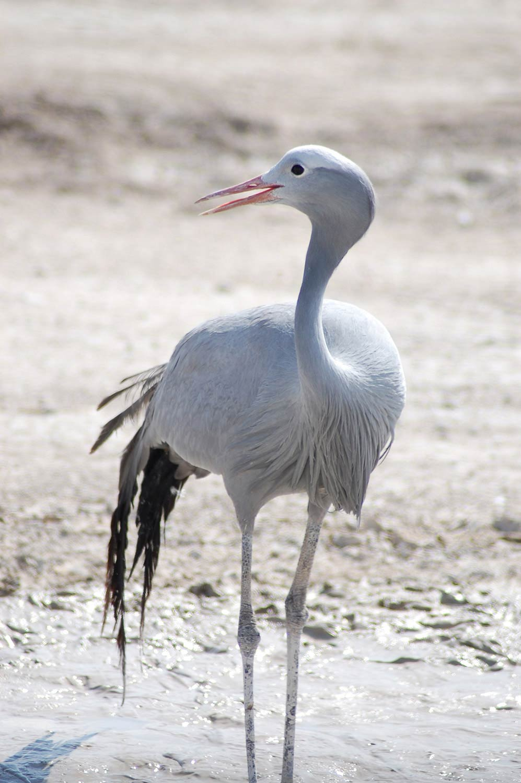 Blue crane - Birds of Namibia - Birds of Etosha - Vreugde Guest Farm