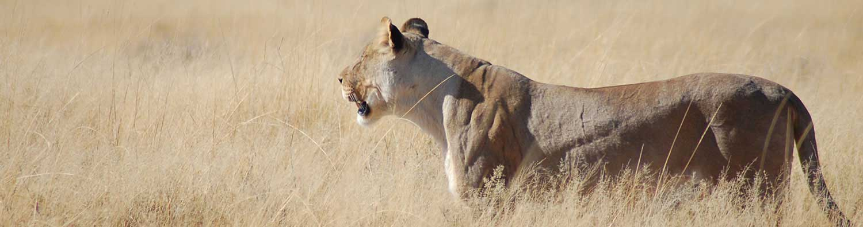 Lion - Etosha National Park - Etosha Safari - Vreugde Guest Farm