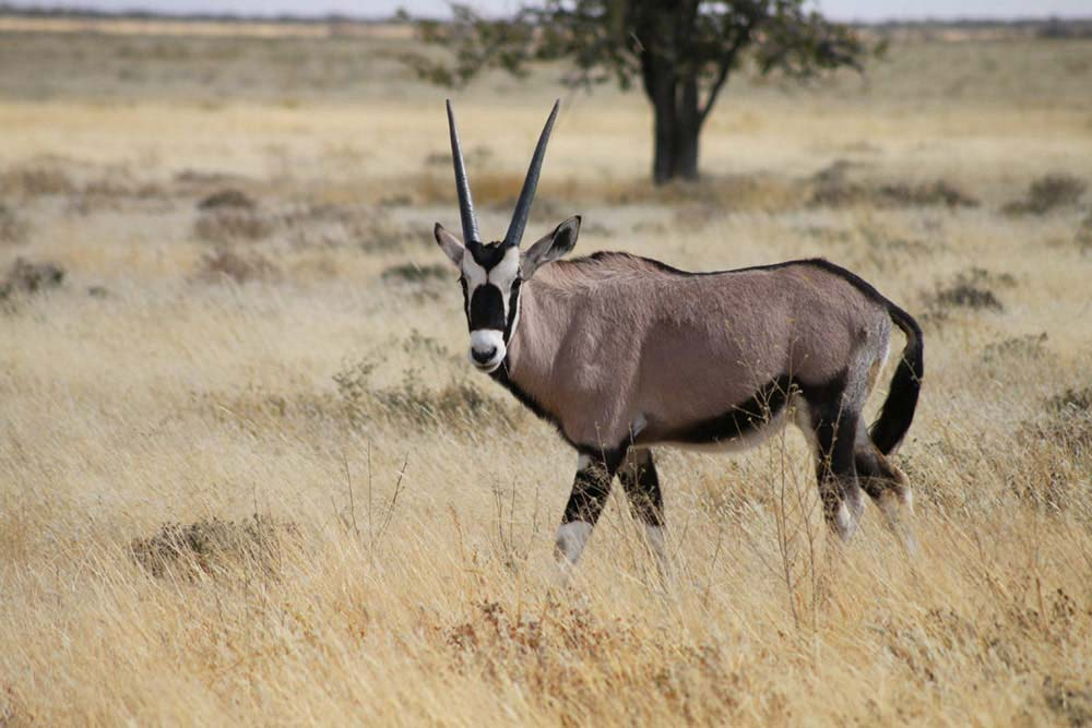 Oryx in Etosha - Namibia info - Interesting facts about Namibia - Vreugde Guest Farm
