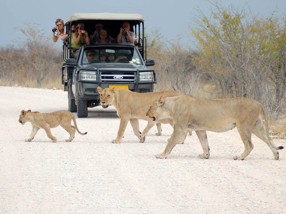 Lions in Etosha - Vreugde Guest Farm - Accommodation near Etosha National Park