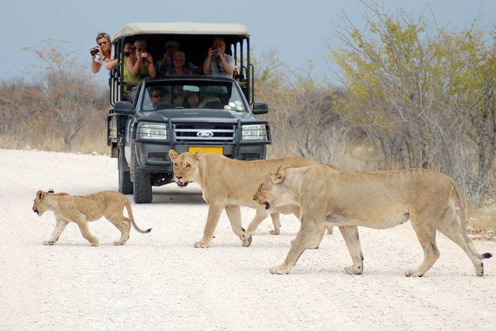 Lions in Etosha National Park - What to do in Namibia - Activities in Namibia - Vreugde Guest Farm