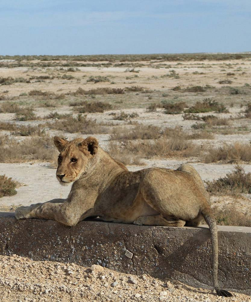 Lion in Etosha - Facts like: Where is Namibia, How big is namibia - Vreugde Guest Farm