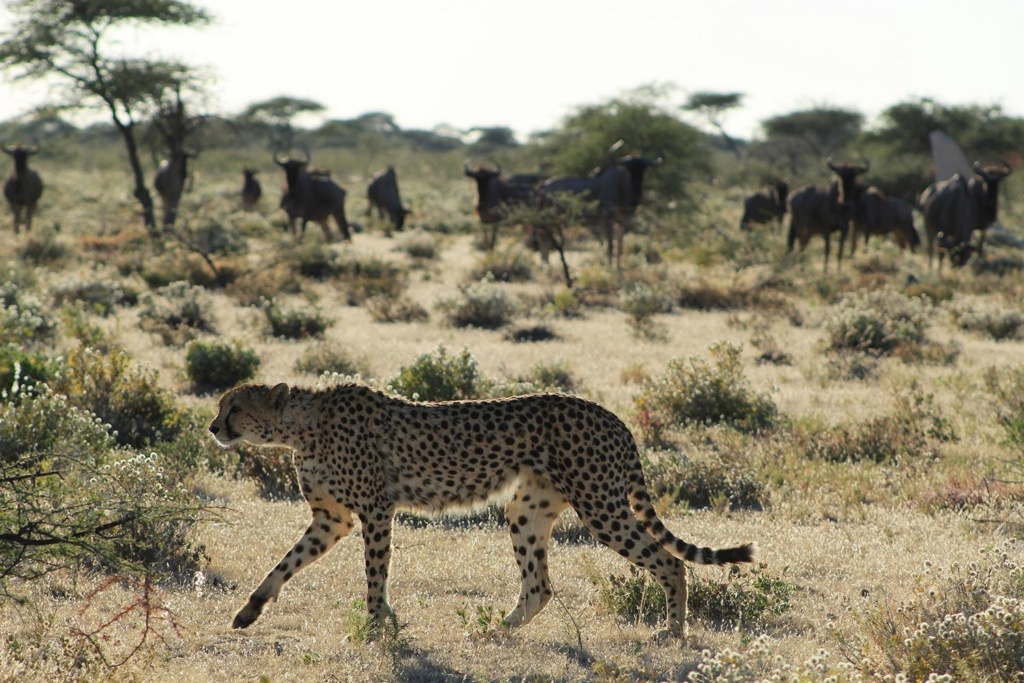 Cheetah and Wildebeests