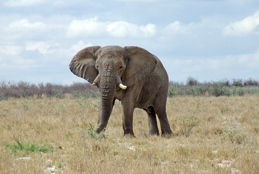 A disturbed elephant in Etosha looking right at the vehicle